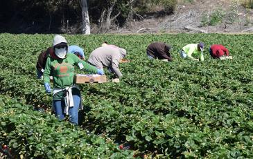 Workers picking produce in a field